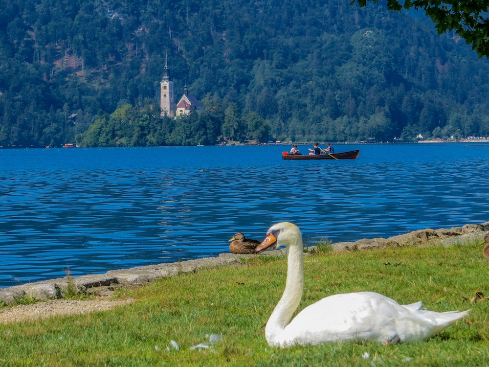 swans in lake bled backpacking