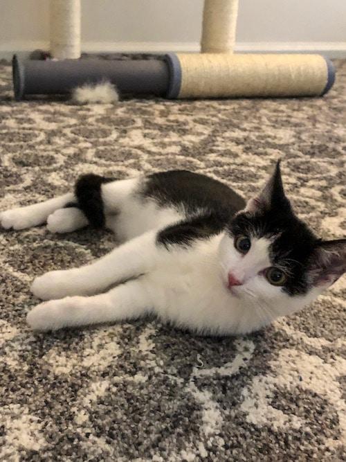 relaxing foster kitten