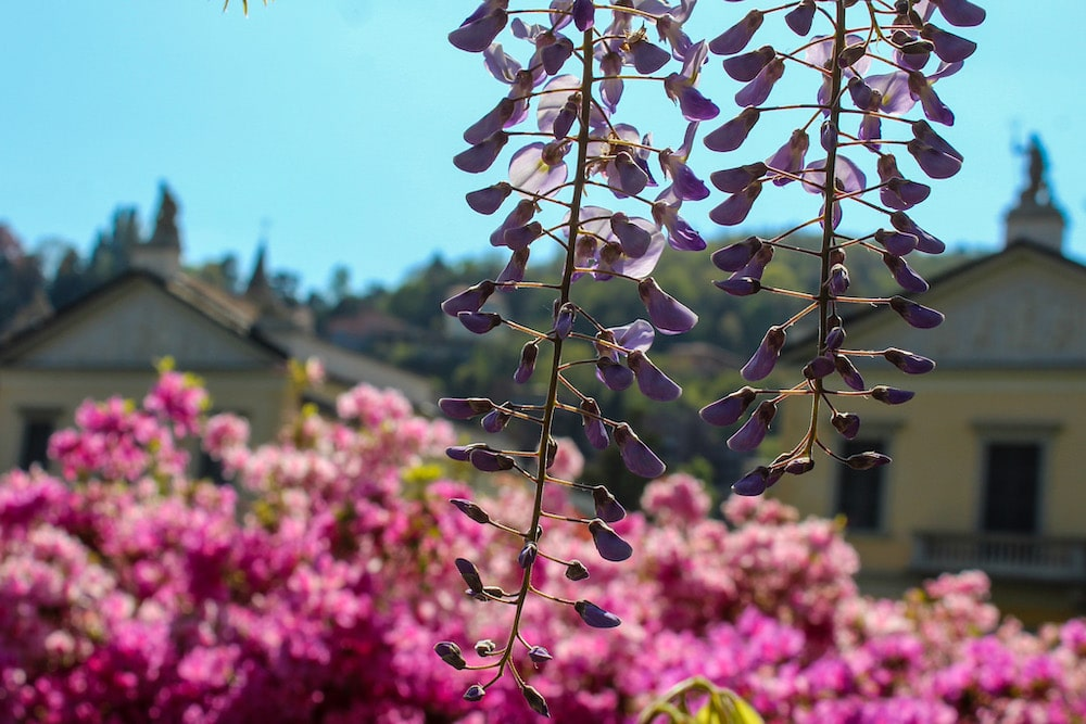 you'll never tire of flowers in spring in lake como