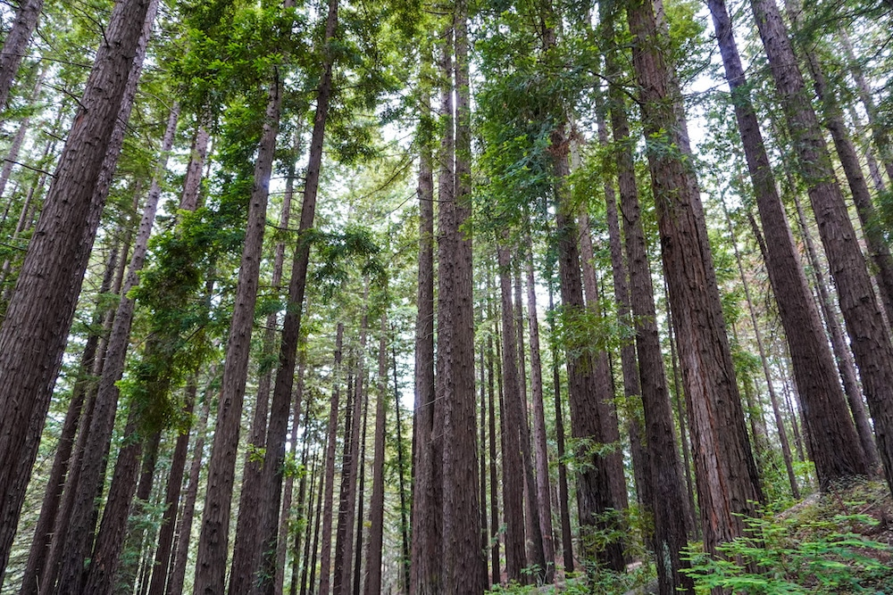 seeing redwoods is possible with a weekend in berkeley