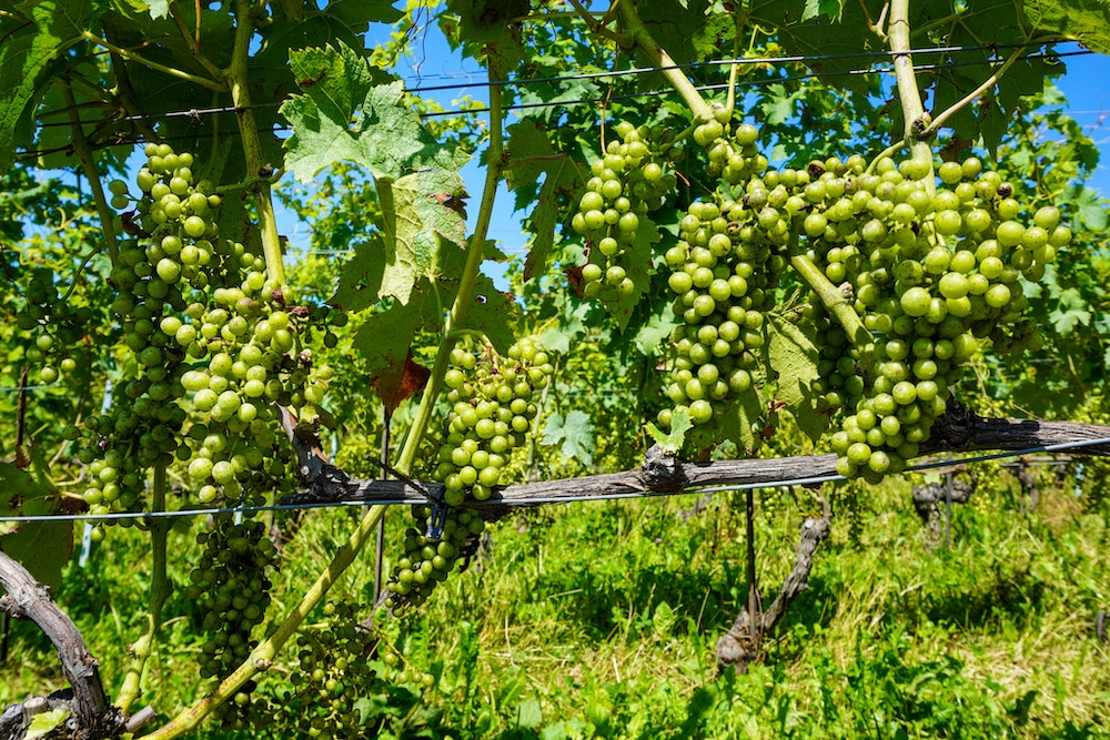 who can say no to these grapes in lake geneva?